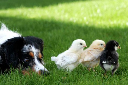 Какие из пород собак счиатются самыми умными?