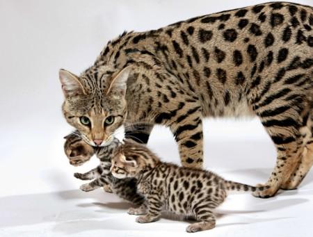 большие кошки саванна