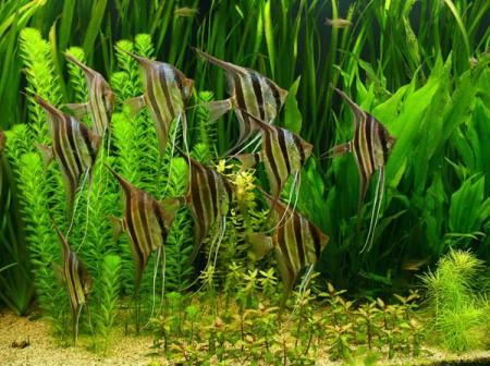 Аквриумные рыбки скалярии внешний вид