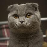 Шотландская вислоухая кошка: правильное питание и уход