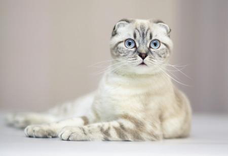 Внешний вид шотландских кошек
