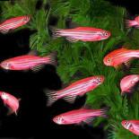 Рыбки породы данио: разновидности, содержание и уход