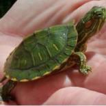 Что и как влияет на продолжительность жизни черепахи?