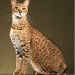 Кошки породы саванна: дикая домашняя смесь