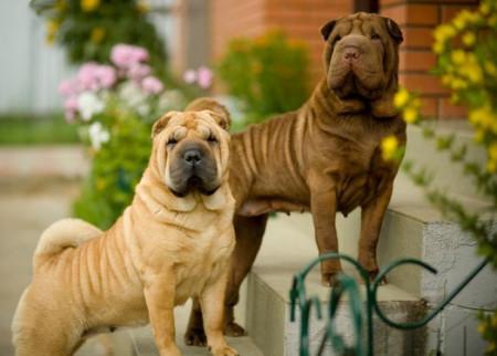 шарпей описание породы собака характер отзывы порода взрослый