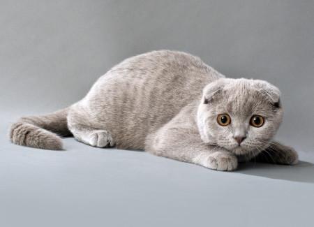 Истоия разведения шотландских кошек