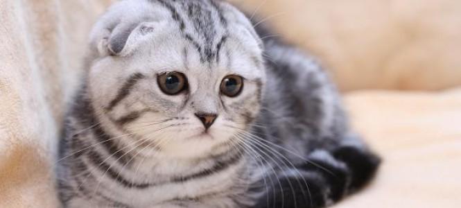Шотландские кошки: питание, основы ухода, гигиена