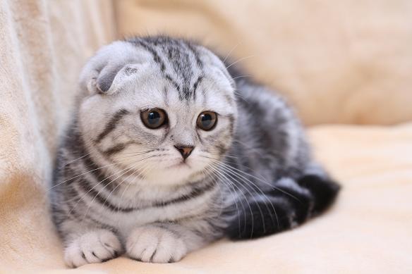 Основные отличия британских кошек от шотландских кошек