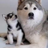 Выдержанные собаки хаски: как правильно ухаживать в квартире?