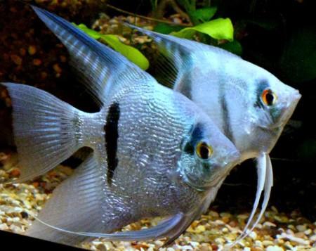 Аквриумные рыбки скалярии