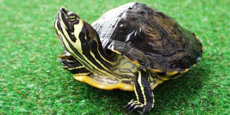 Как долго черепахи находятся на земле
