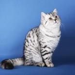 Особенности содержания шотландской прямоухой кошки