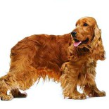 Уход за английским кокер спаниелем: от щенка до взрослой собаки