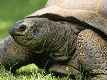 Размножение черепах в домашних условиях, основные моменты 13