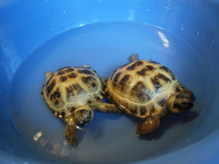 Мытьё и купание черепахи