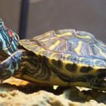 Красноухая черепаха: уход и содержание дома