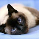 Тайские котята: характеристика породы, правила воспитания