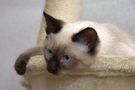 тайская кошка характер