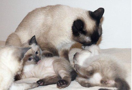 тайская кошка котята вязка