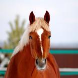 Особенности и история породы тракененских лошадей