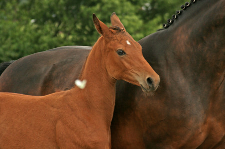 тракененские лошади разведение
