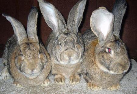 Массовое разведение кроликов