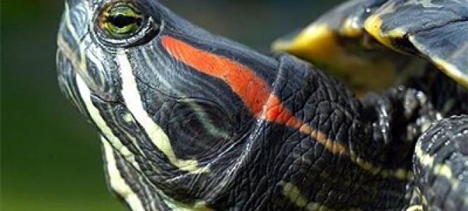 Правила ухода за черепахой в домашних условиях