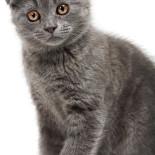 Шотландские вислоухие котята: правила ухода