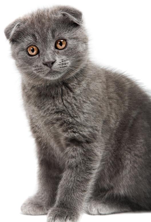 Как назвать британского котёнка девочку