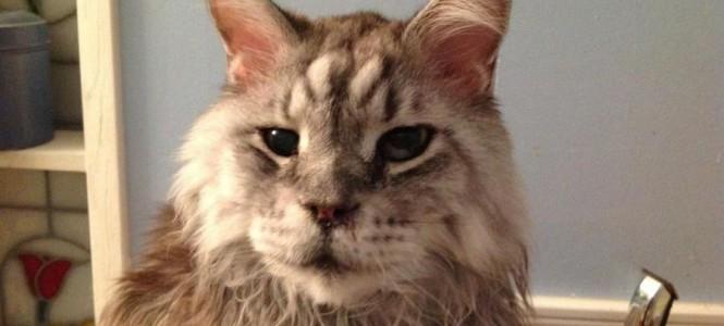 Перечень и особенности самых больших пород котов