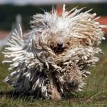 Характеристика и особенности содержания породы собак венгерская овчарка