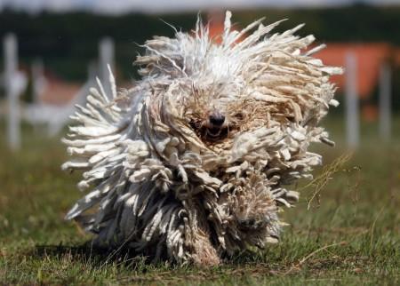 венгерская овчарка особенности породы характеристика