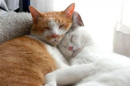 Как спаривать кошку с котом в первый раз
