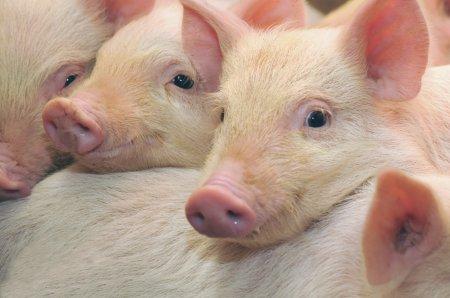 От чего зависит выбор породы свиньи?
