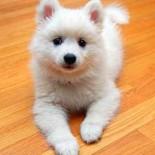 Особенности породы японский шпиц: содержание и уход за собакой