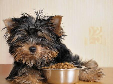 чем кормить йоркширского терьера уход питание