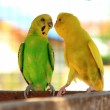 17211613-lovebird-parrot-agapornis-is-cute-pets