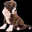 Boxer-puppy-transparent