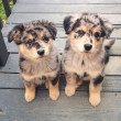 Funny_and_cute_Australian_shepherds36