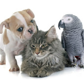 african-grey-with-cat-and-dog