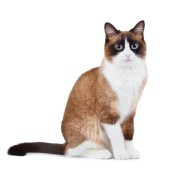 Snowshoe thai cat, sitting and looking at the camera, isolated on white background