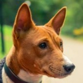 basenji-dog-breed-info