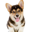 Pembroke Welsh Corgi puppy looking at camera. isolated on white background