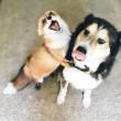 juniper-pet-fox-dog-friendship-moose-7