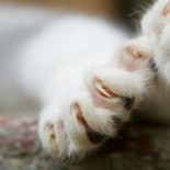 Close-up of cat paw with claws out.
